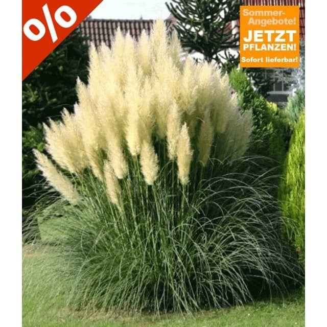 pampasgras 'evita' im 3-liter containertopf, 1 pflanze - baldur, Hause und garten