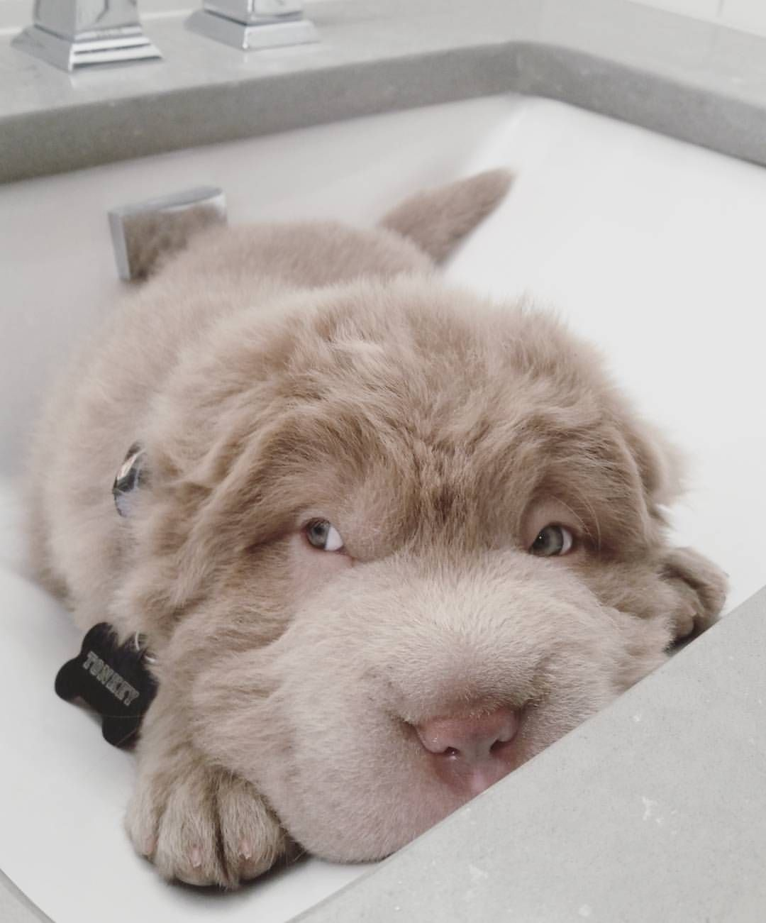 images Tonkey Bear: The Dog That Will Melt Even The Most Dedicated Cat Lover's Heart