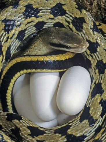Taiwan Beauty Snake With Eggs Beautiful Snakes Baby Garter