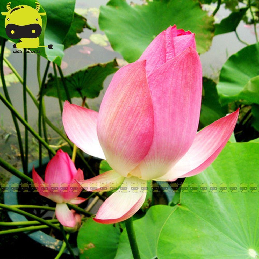 Click To Buy Chinas Pink Red Lotus Flower Seeds 1 Seedpack