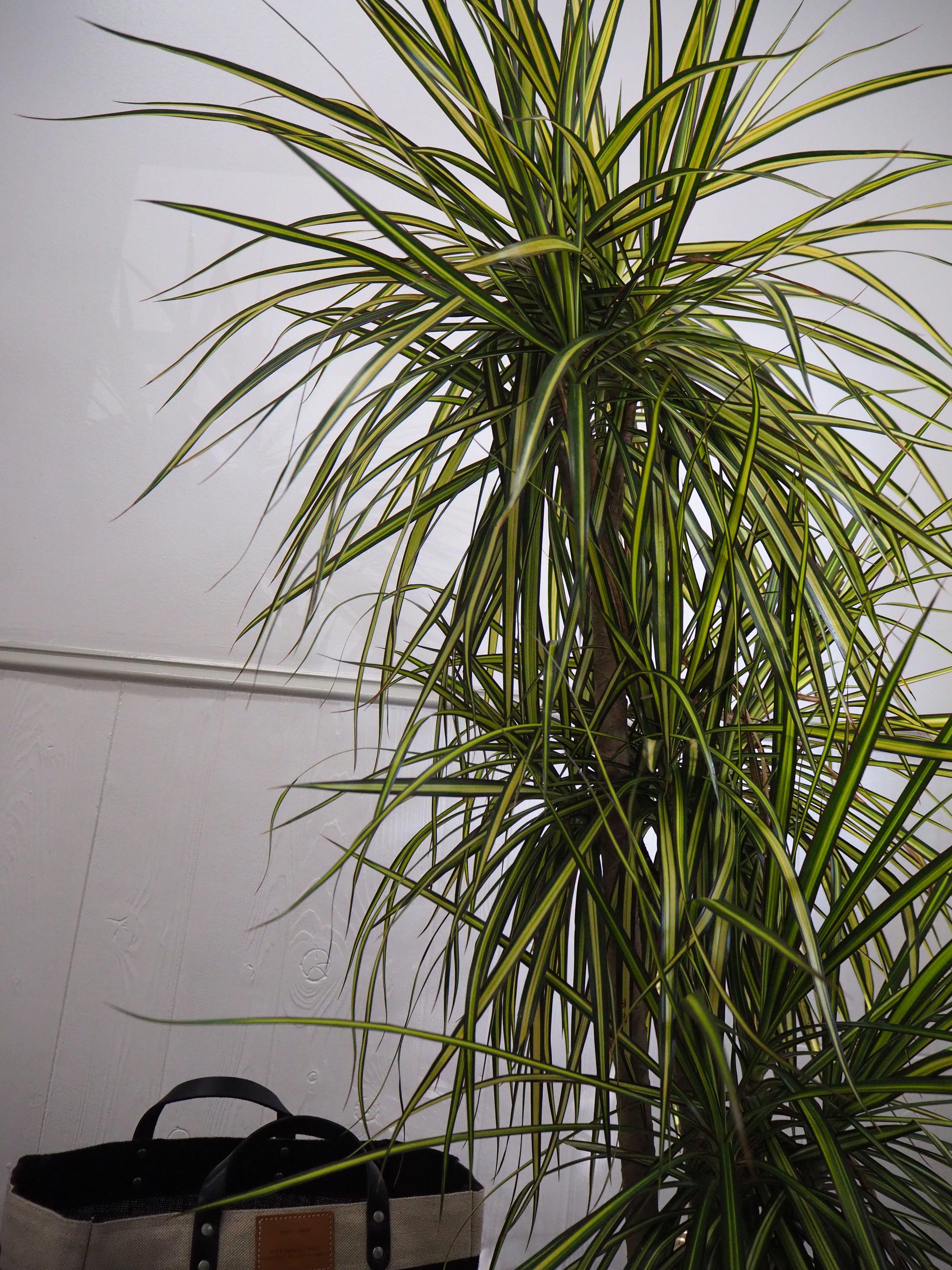 Dracaena Marginata Plant a Tropical Beauty Quality