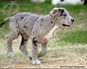 Vulpine Great Danes Dane Colors I M Kind Of In Love With The