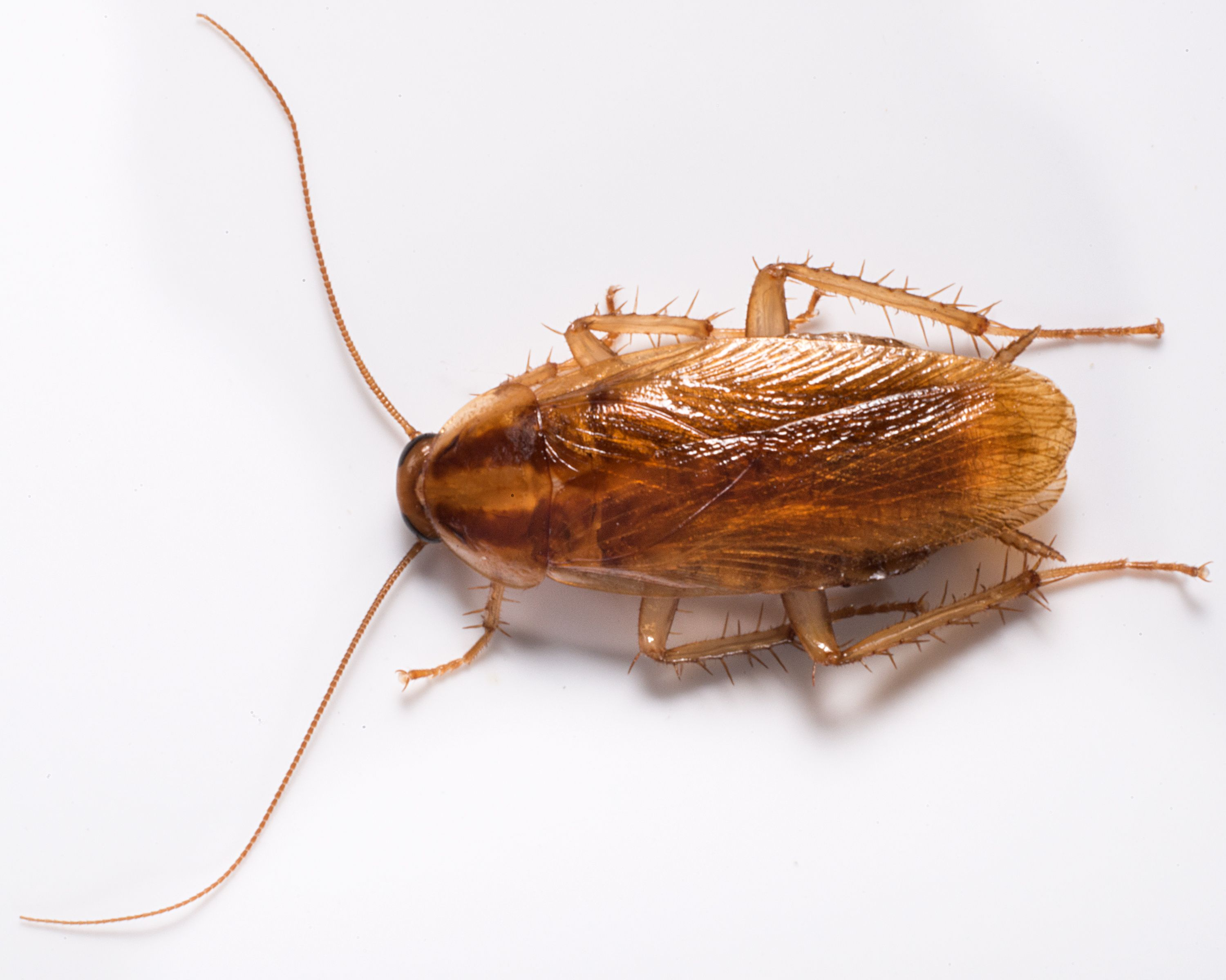 Even though many people associate spring allergies with the outdoors   household pests such as cockroaches and rodents are also known to trigger  asthma and. 70 best Roaches images on Pinterest   Roaches  Pest control and