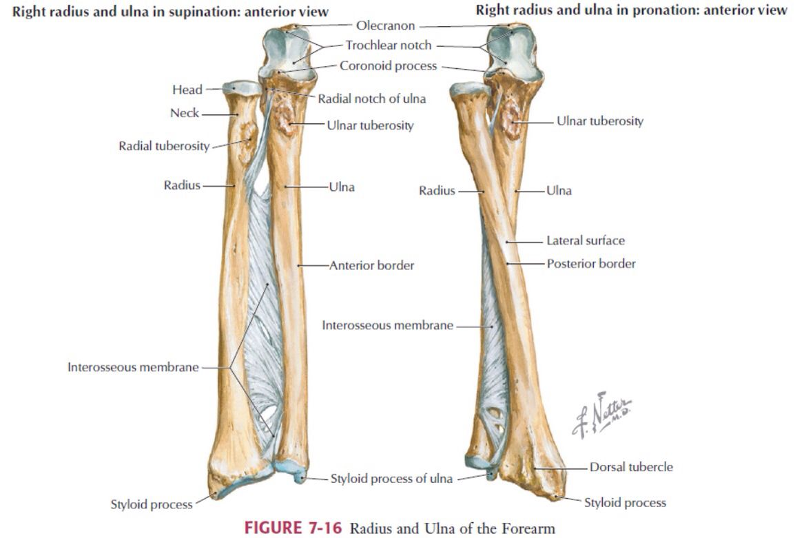 Ulna and radius | Anatomy | Pinterest | Anatomy