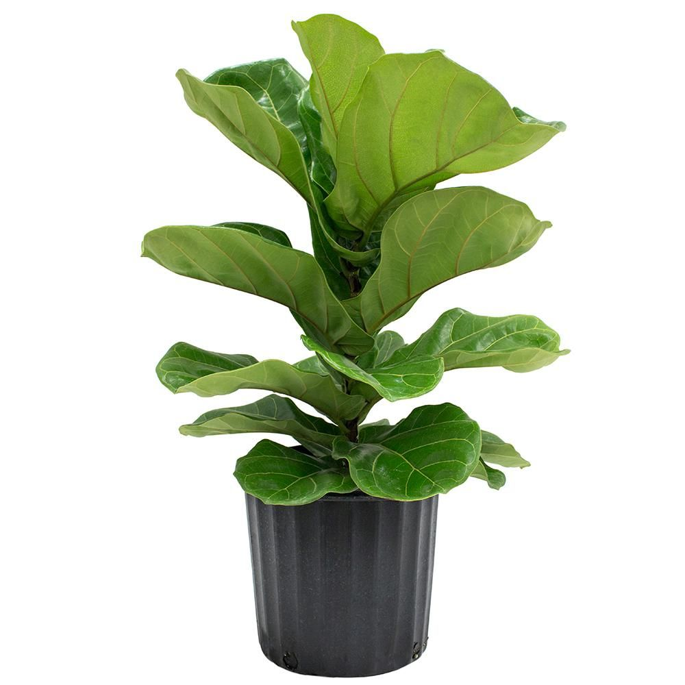 Delray Plants 8 3 4 In Ficus Pandurata Bush In Pot 10pan The Home Depot Ficus Lyrata Ficus Pandurata Floor Plants