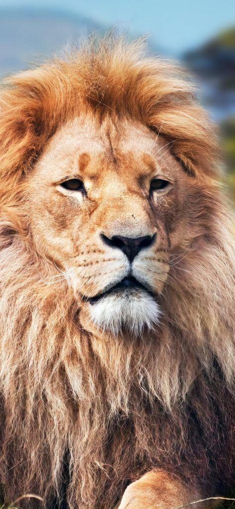 iPhone X Wallpaper Screensaver Background 036 Lion Ultra ...
