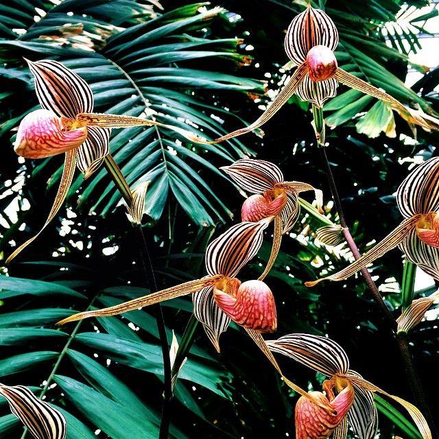 slipper orchids @ the huntington botanical garden, LA.