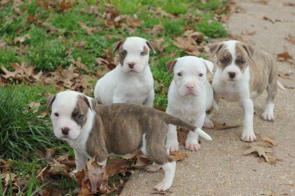 Pot Belly Pibbles Foster Dog Dogs Nanny Dog
