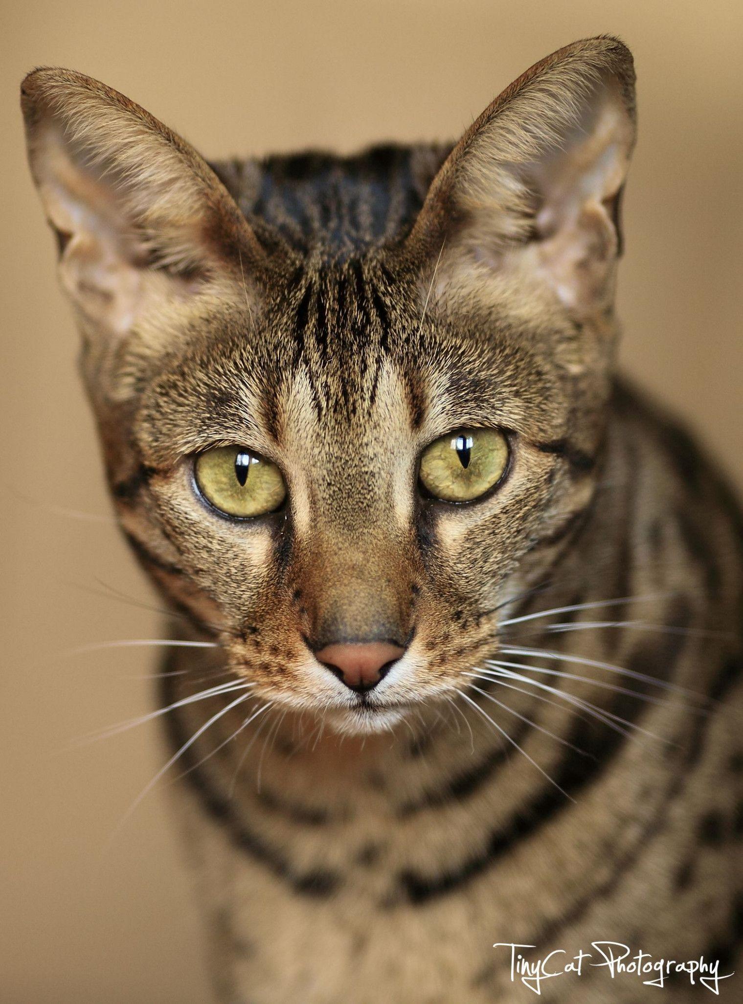 9 Cute Savannah Cat Average Price In 2020 African Serval Cat Savannah Cat Cats