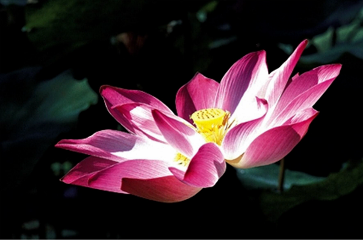 Sentrang is vietnamese for lotus a remarkable aquatic flower that sentrang is vietnamese for lotus a remarkable aquatic flower that is not only the mightylinksfo