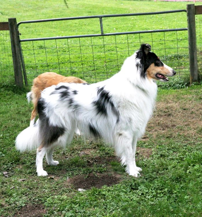 Harlequin Collie Old Time Scotch Collies Farm Collies Rough