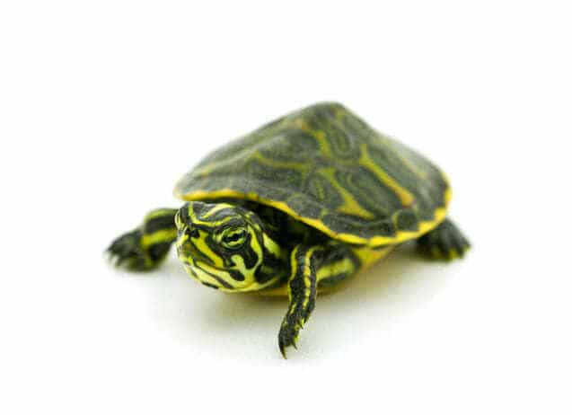 Yellow Bellied Slider Turtle For Sale Turtlestore Com Turtles For Sale Aquatic Turtles Baby Turtles