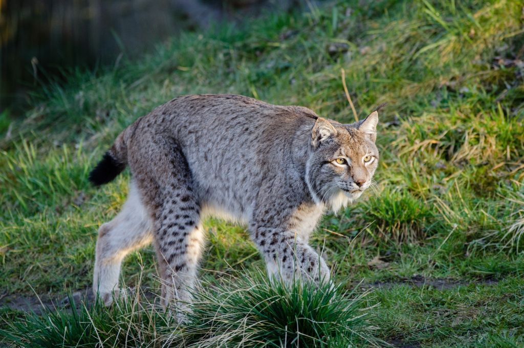 Lynx On The Prowl Bobcat pictures, Animals