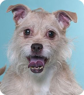 Chicago Il Terrier Unknown Type Small Mix Meet Monkey A Dog For Adoption Cat Adoption Dog Adoption Homeless Pets