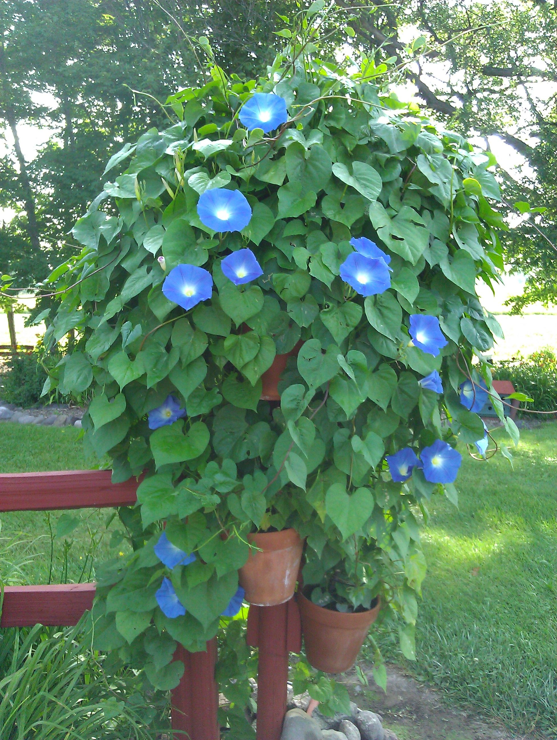 I Tried Something Different With Morning Glories This Year I Planted Them In Pots And Trained Morning Glory Flowers Hanging Flower Baskets Blue Morning Glory