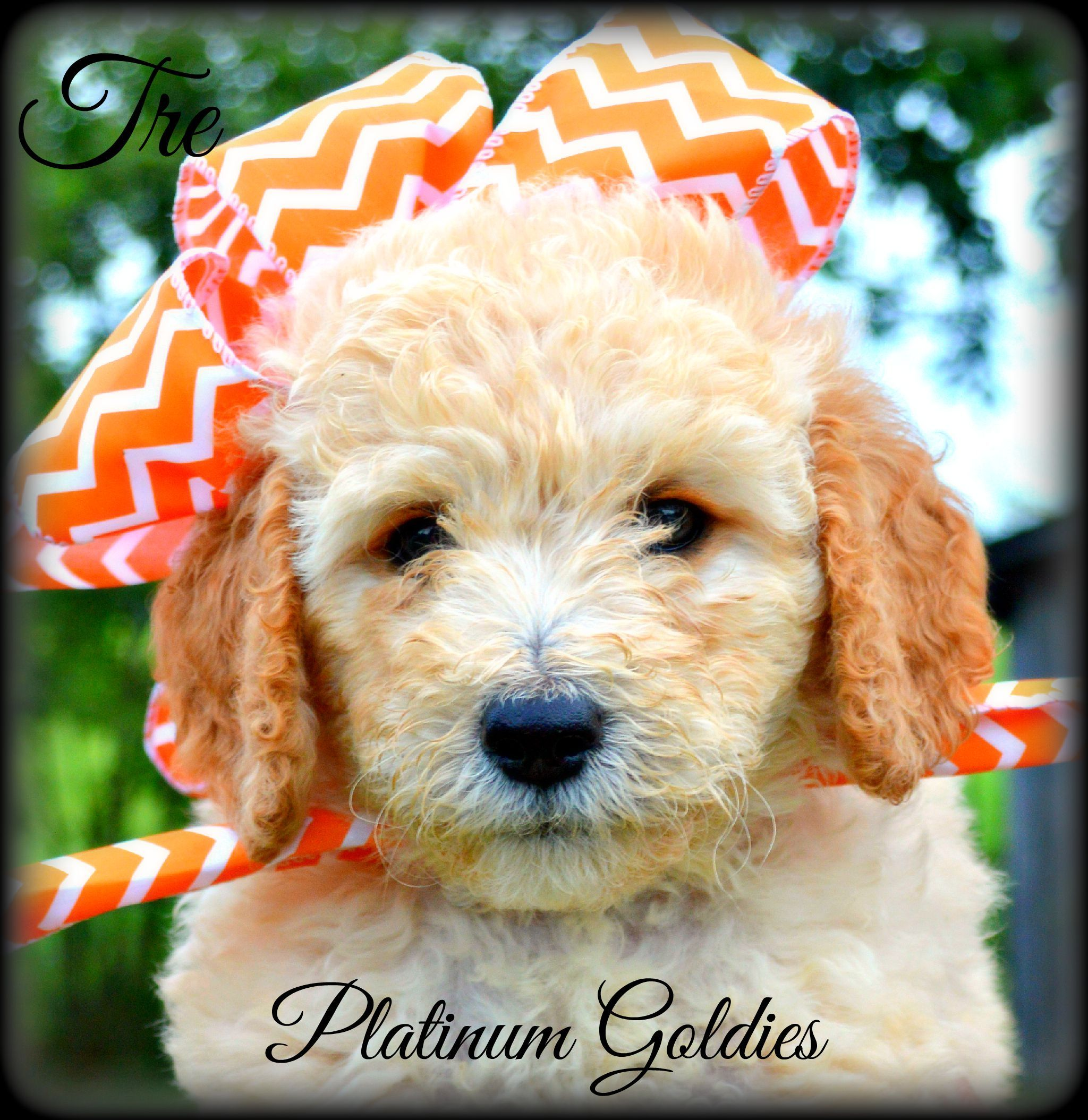Available Puppies Mini Goldendoodle Puppies Goldendoodle Puppy Goldendoodle