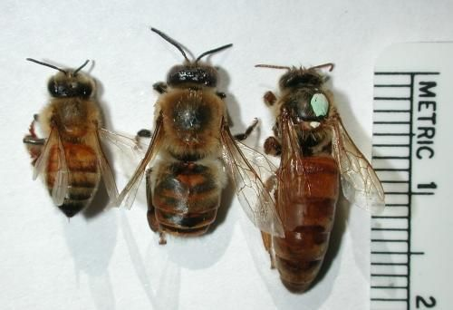 Honey Bees Worker Bee Female Drone Male And Queen