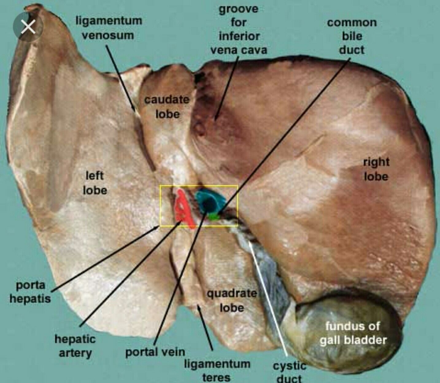 Colorful Cadaver Images Anatomy Ensign Physiology Of Human Body