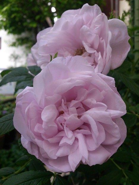 Hybrid Rugosa Rose Rosa Schneekoppe Aka Snow Pavement