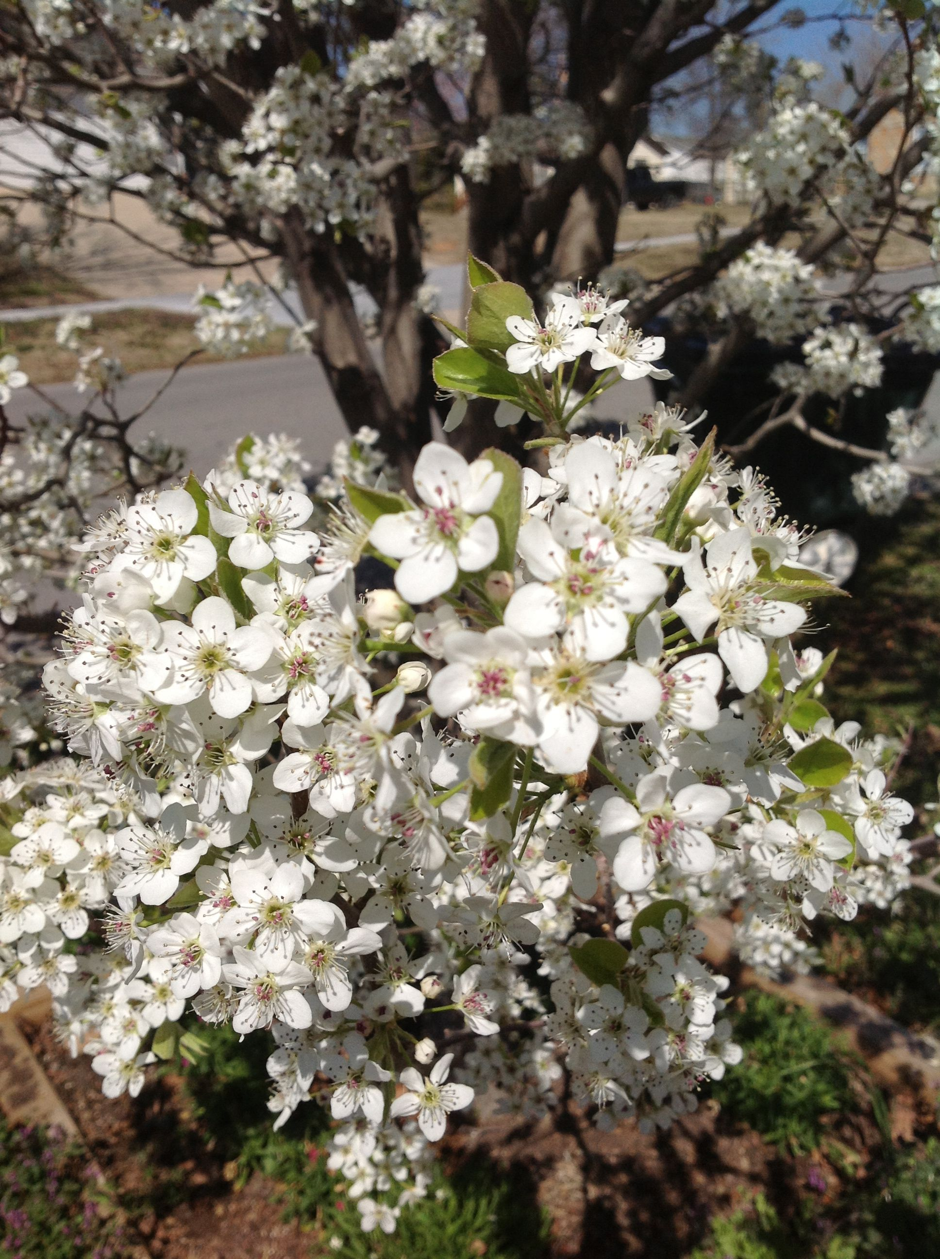 Pear Tree In The Month Of April Front Yard Sand Springs Ok