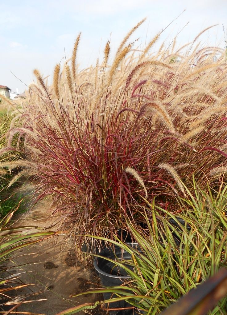 Ornamental grasses gardening ideas pinterest grasses for Spiky ornamental grass