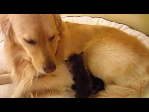 3 Super Cute Foster Kitten Trying To Drink Milk From Dog While