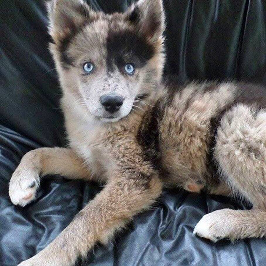 Gorgeous Blue Eyed Australian Shepherd And Husky Mix Australian