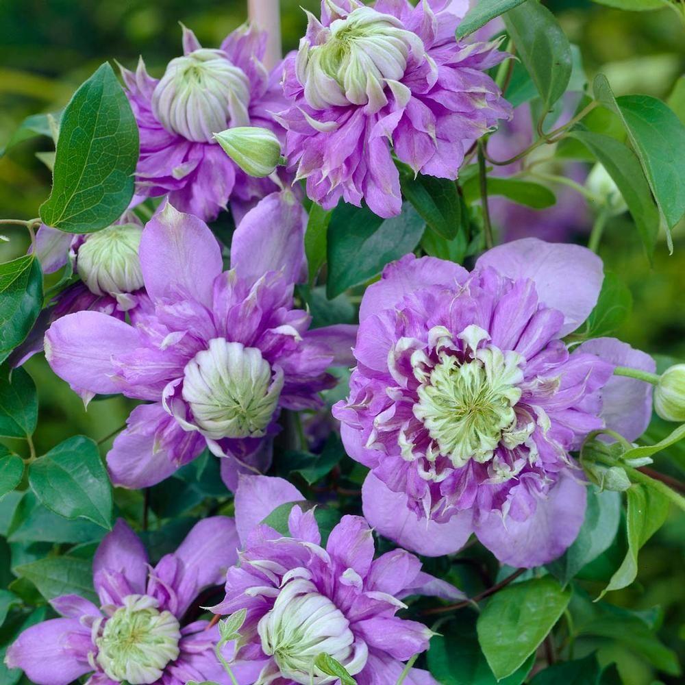 Clematis Rebloomer Blue Light The Secret Garden Pinterest