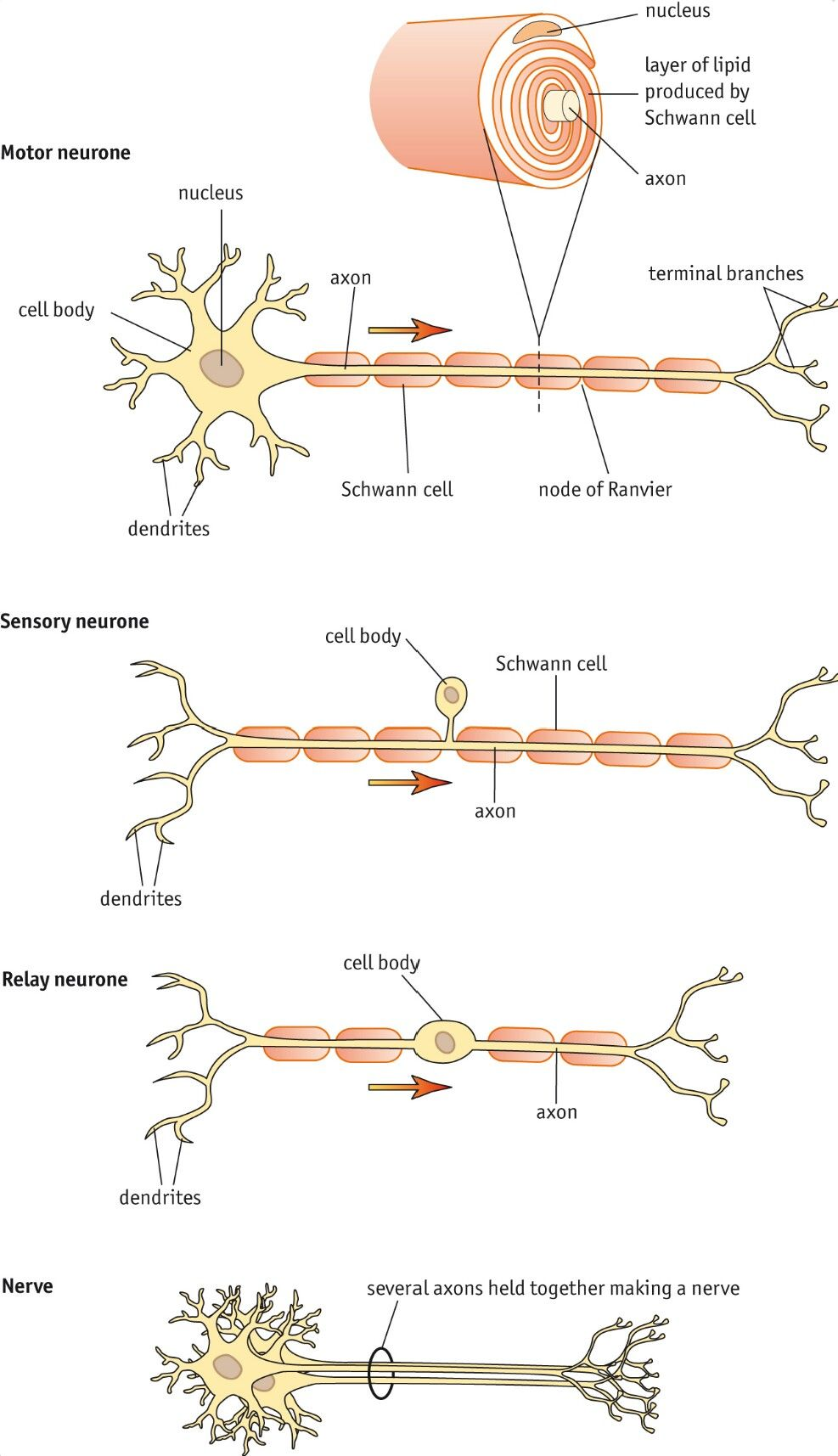 Nerve Cell Structure and Schwann Cells Nerve cell