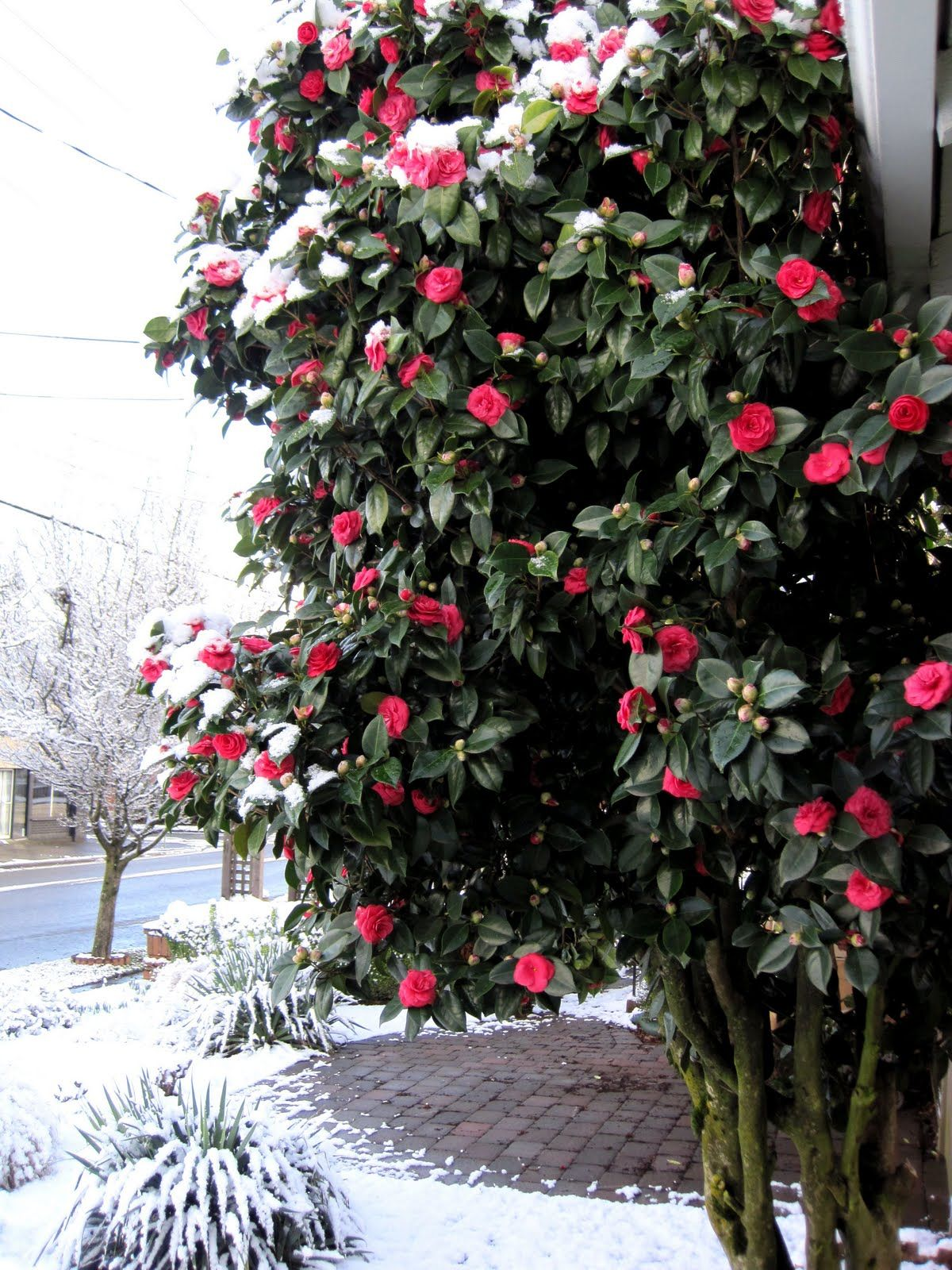 Winter Blooming Camellias Spring S Promise By Monrovia Winter