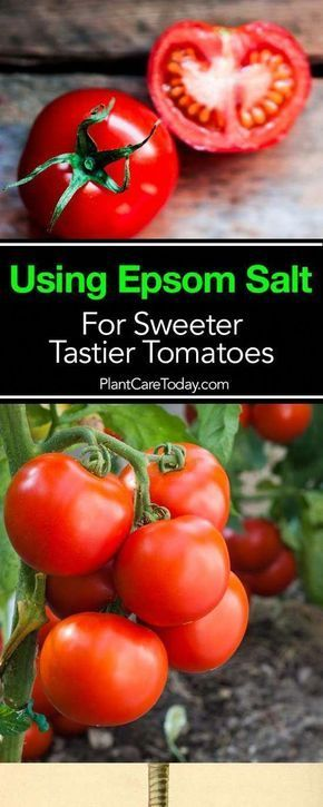 To Use Epsom Salt For Sweeter Tastier Tomatoes Using magnesium sulfate - epsom salt and tomato plants is known for providing wonderful benefits for tomatoes functioning as a plant fertilizer [LEARN MORE]Using magnesium sulfate - epsom salt and tomato plants is known for providing wonderful benefits for tomatoes functioning as a plant...