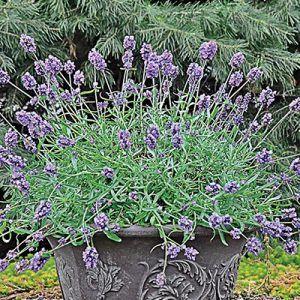 Orange Rocket Barberry | Buy Garden Plants Online | Buy Garden ...