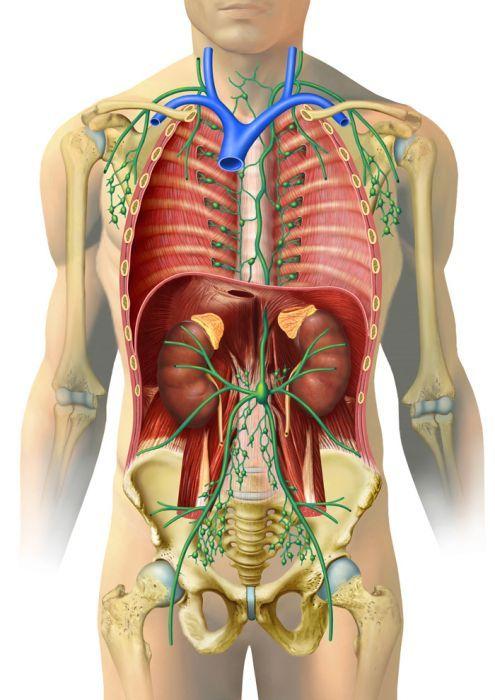 Pin von Timur A. auf ANATOMY | Pinterest | Immunsystem, Menschlicher ...