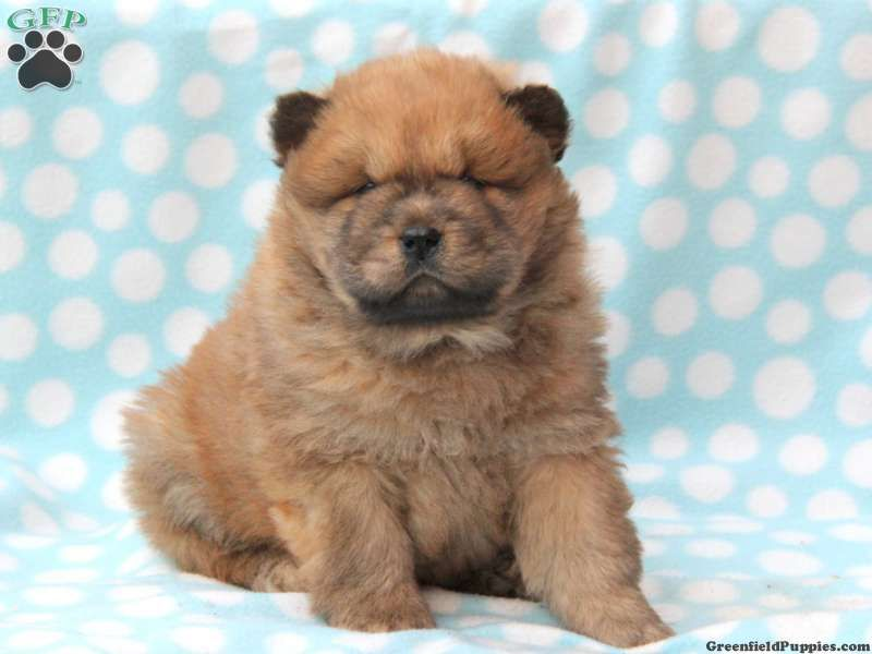 Bear Chow Chow Puppy For Sale In Pennsylvania Chow Puppies For