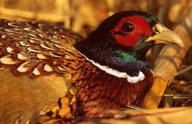 south dakota state bird