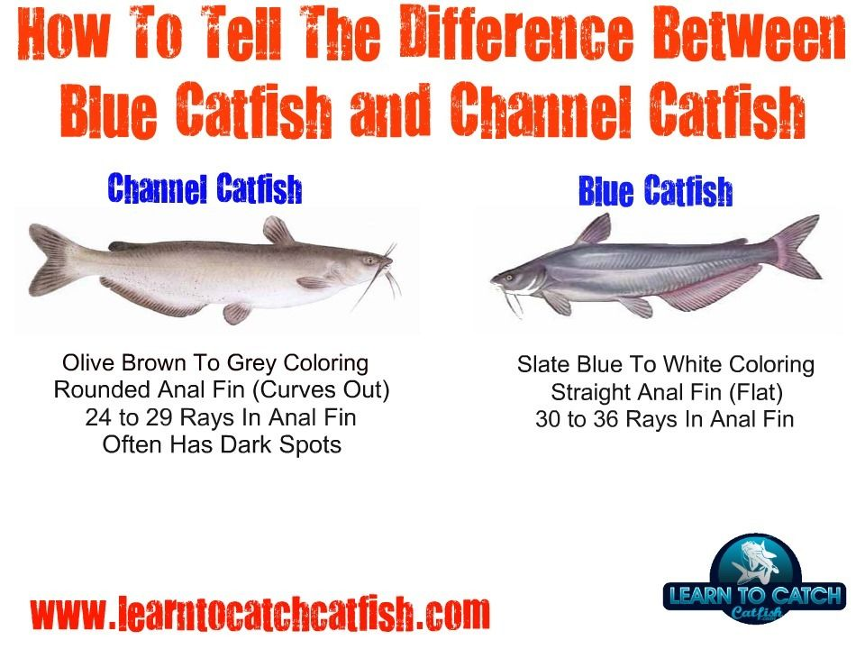 Fishing rigs for catfish identifying blue catfish and for How to make fish bait