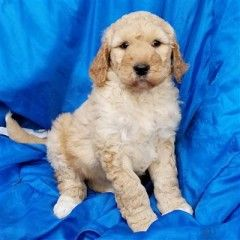 Goldendoodle Puppies And Dogs For Sale Pets Classified Ad