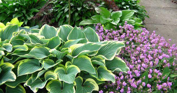 Front yard garden with hostas Choco Nishiki and Sagae, Geranium ...