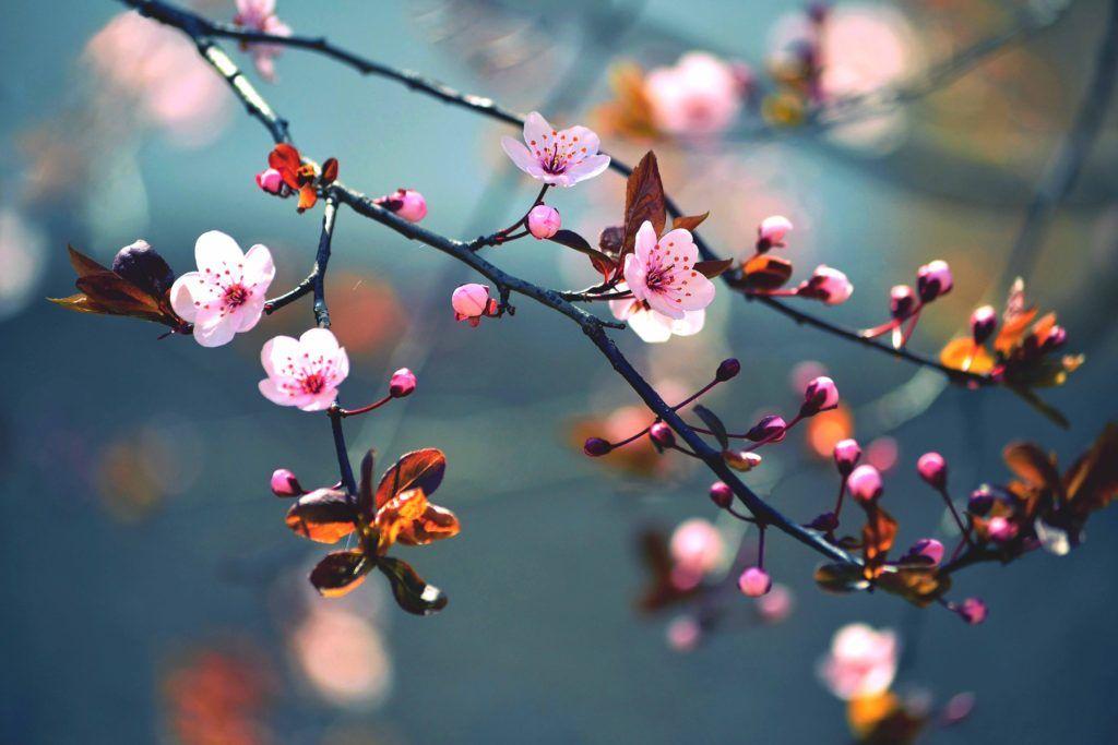 Cherry blossom on branch – XXL Photo wallpaper