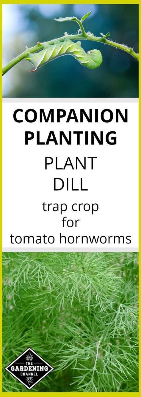 Grow Dill To Save Tomato Plants From Hornworms How To 400 x 300
