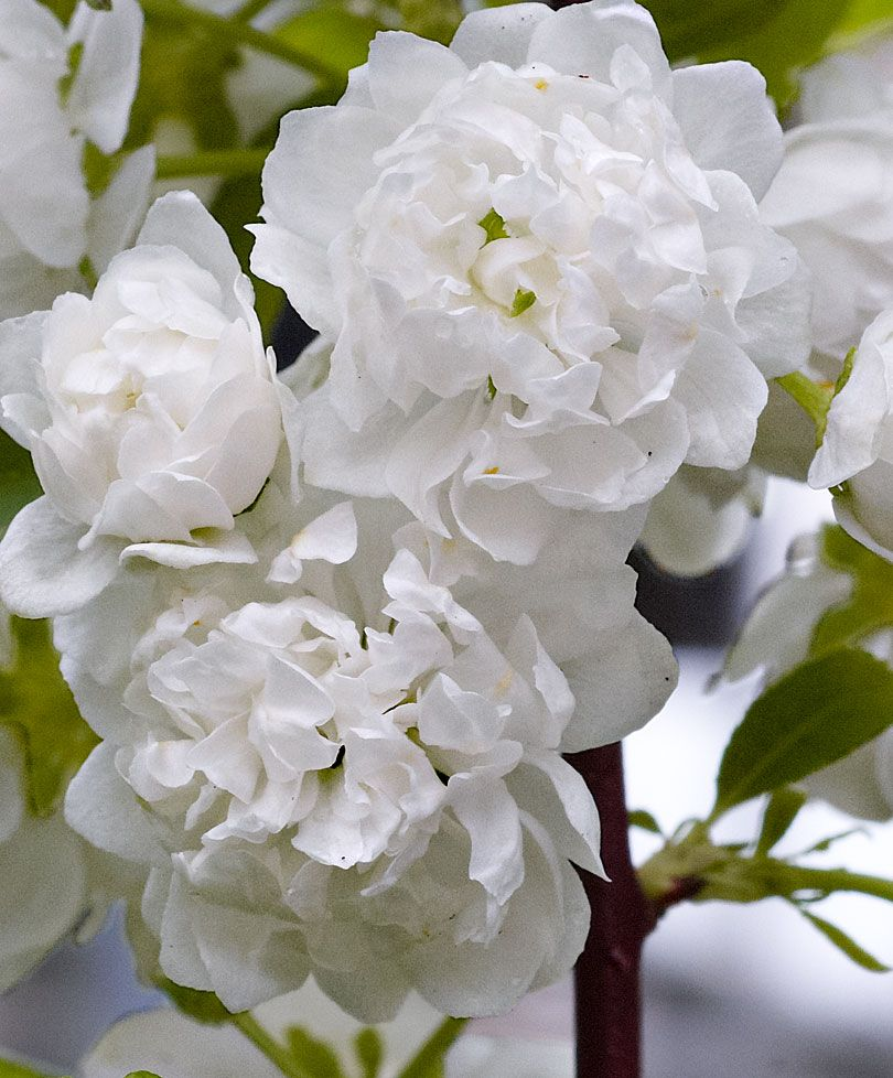 Pin by francisca arias natho on flores pinterest prunus