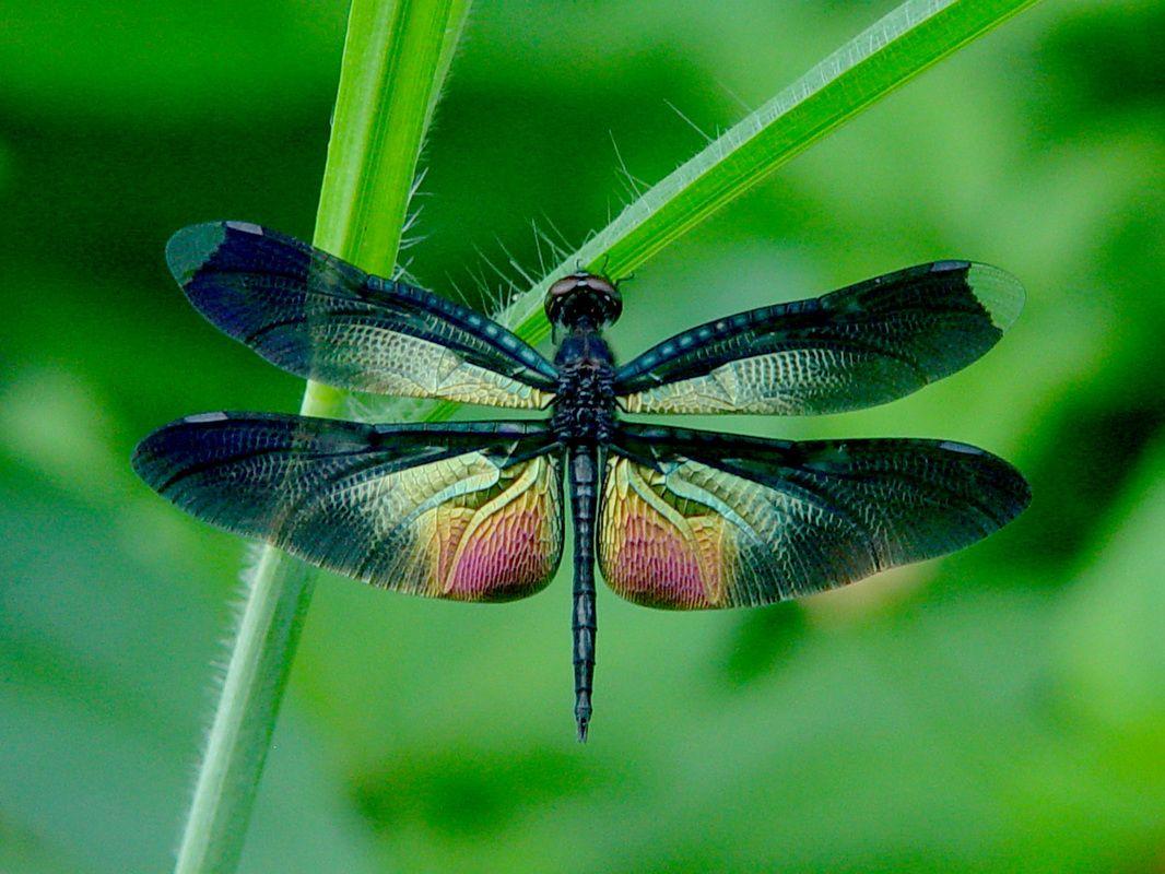 Dragonfly HD desktop wallpaper Widescreen High Definition