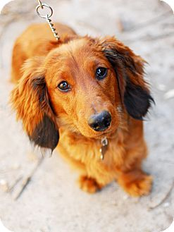 Remy Dachshund Mix Young Male Detroit Mi Home Furever
