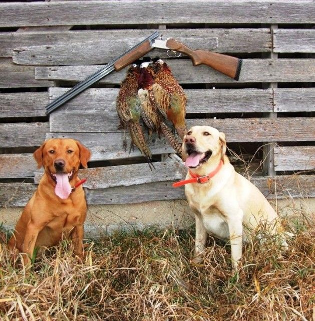 "Dogs of the Day ""Wesley"" and ""Copenhagen"" Hunting dogs"