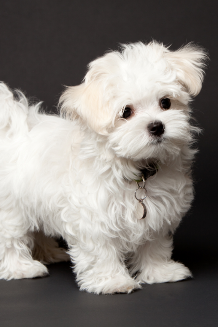 Maltese puppy posing in the studio for a shot. Wild hair
