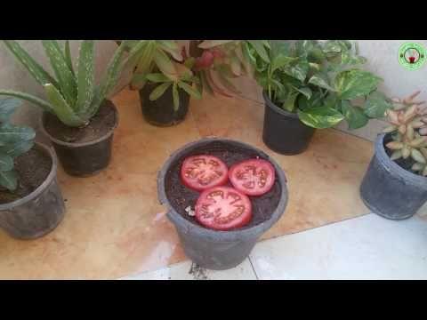 طريقة زراعة الطماطم بالبذور من طماطم موجودة بالثلاجة Youtube Plants Green Art White Marble Background
