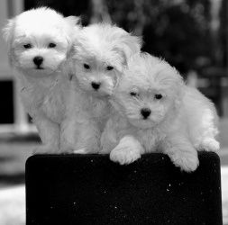 Maltese Puppies In Houston Tx Larry Curly And Moe They Are