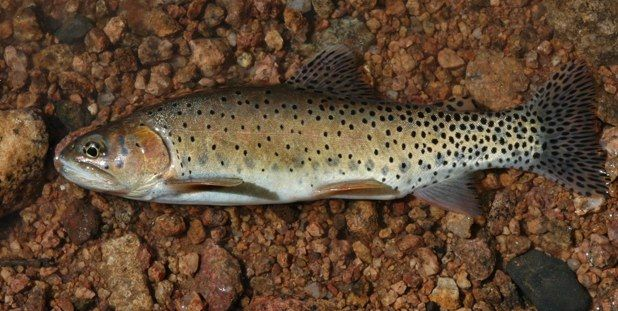 The most diverse trout species in north america the for Colorado fish species