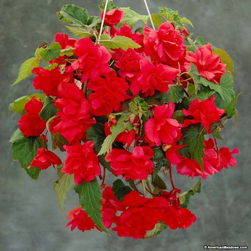 Red Cascading Begonia Container Gardening Bulb Flowers Begonia
