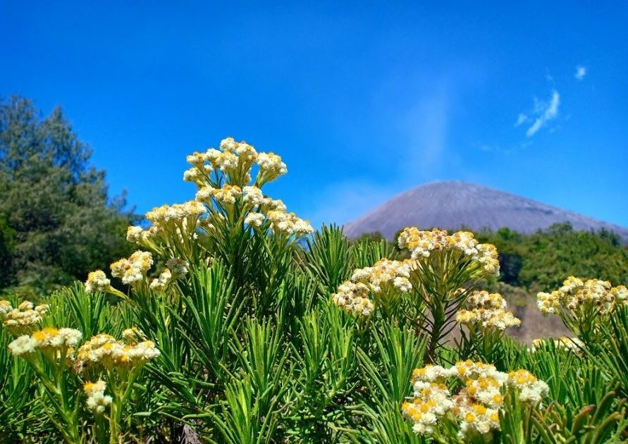 Baru 30 Gambar Bunga Edelweis Di Merapi 6 Gunung Dengan Taman Bunga Edelweis Yang Cantik Di Indonesia Download 6 Gunung Dengan Tam Di 2020 Bunga Taman Kebun Bunga